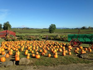 Farm view pumpkins